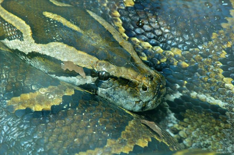 緬甸岩蟒 Burmese python