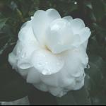 白色茶花 (14).JPG