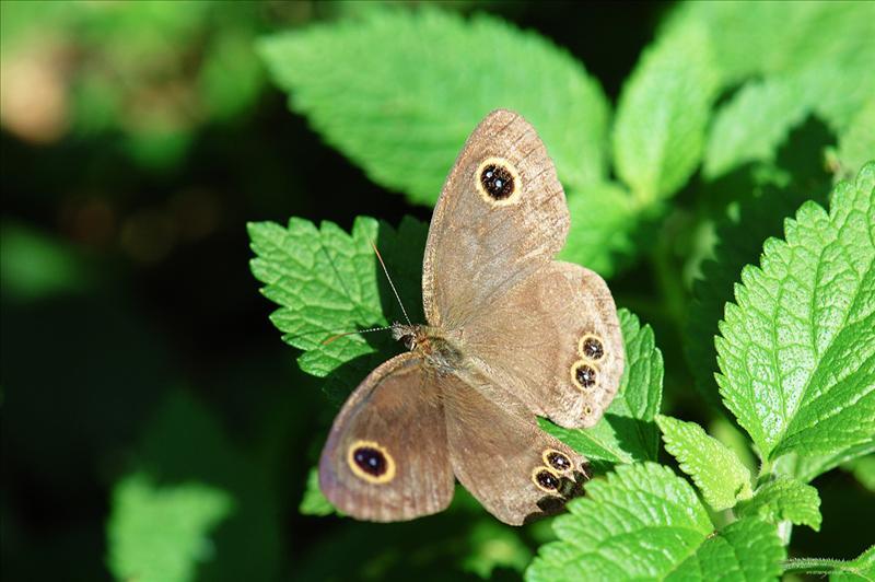 矍眼蝶 Ypthima Baldus (Common Five-ring)