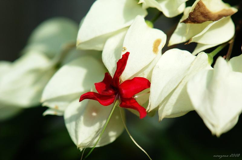 龍吐珠 Clerodendron thomsonae
