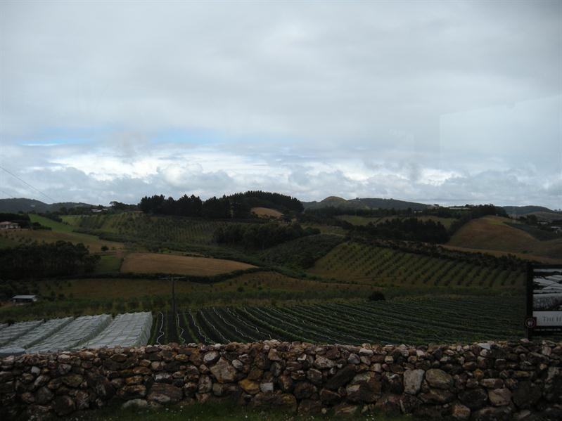 Grape vines on Waiheke