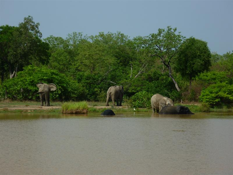 Mole Nationalpark - Elephanten