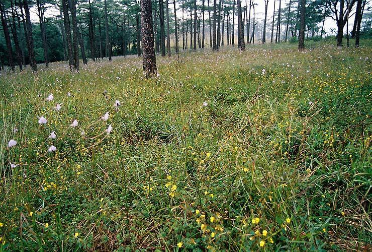 Murdannia giganteum field