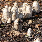 Shaggy Ink Caps