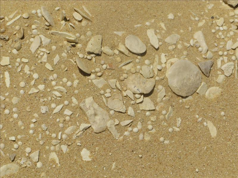 fossielen, schelpen, gesteentes