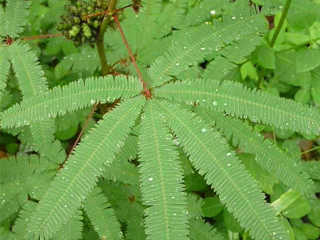 Mimosa plant (leaves fold up when you touch them)