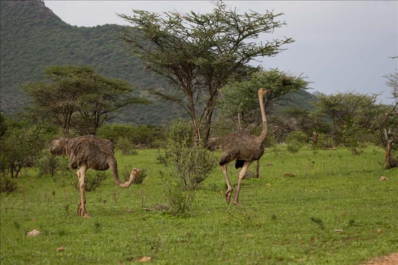 Ostrich (Females)