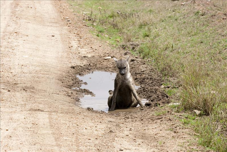 Hyena cooling off in a puddle