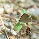 DSC_7345 吉灰蝶 Zizeeria Karsandra (Dark Grass Blue).jpg