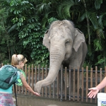 Handing feeding Asian elephants