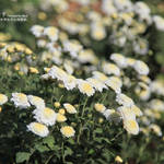 Trip of Sun Flower