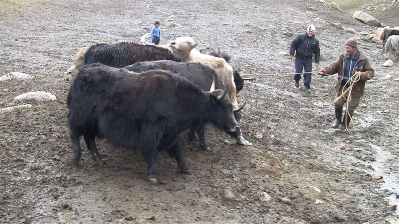 Meeting the Yaks