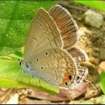 DSCN0030 棕灰蝶 Euchrysops cnejus.jpg