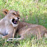 Yawning Lion, Sabi Sands, Kruger Park, South Africa