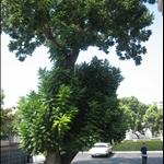 老人公寓前的大树.jpg