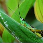 黑翅竹蝗 Ceracris fasciata