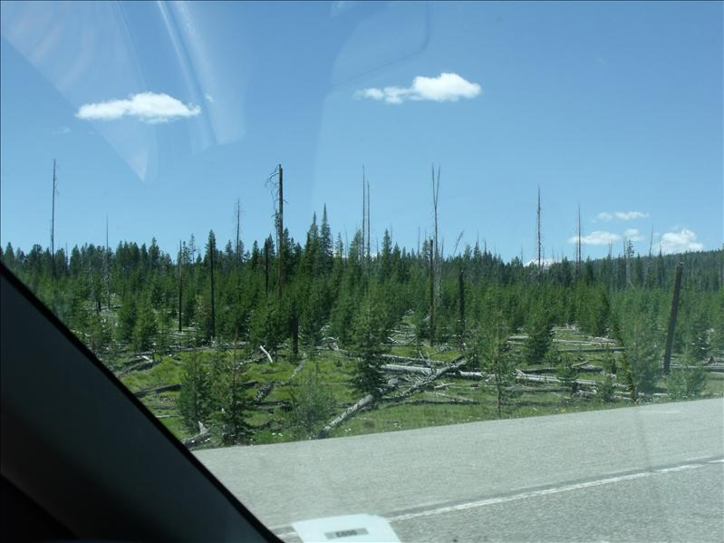 The regrowth from the 1988 fire