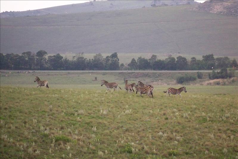 Mountain Zebra / Zèbre de montagne (une autre espèce)