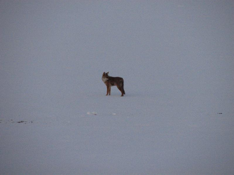 Coyote #3 (#4 was right beside it too)