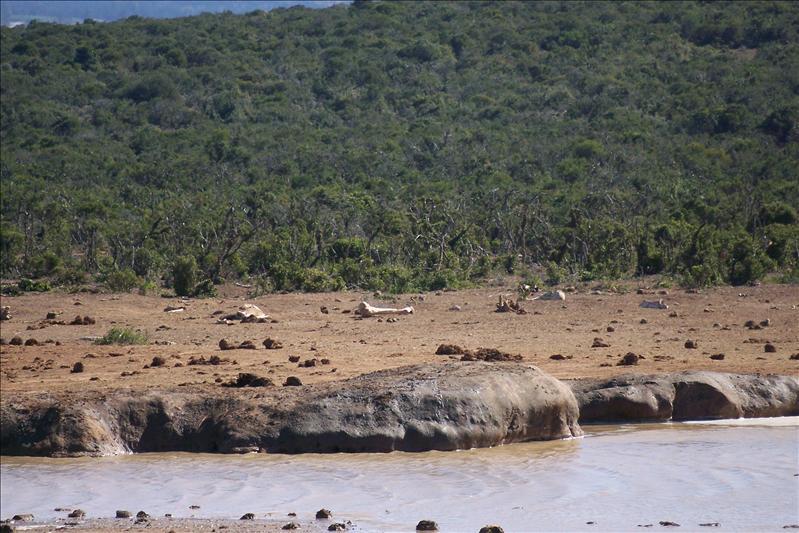 Elephant Bones / Os d'éléphant