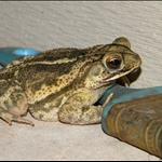 My Backyard Frog :)