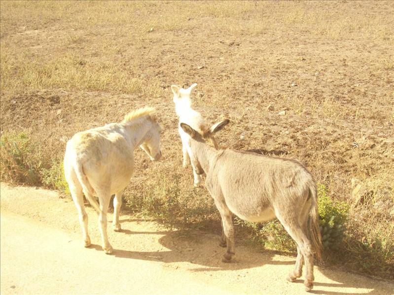 asinara albino donkey