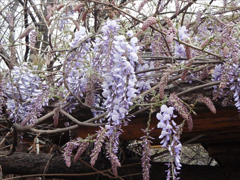 wisteria, Lijiang Old Town