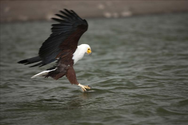 African Fishing Eagle catching a fish