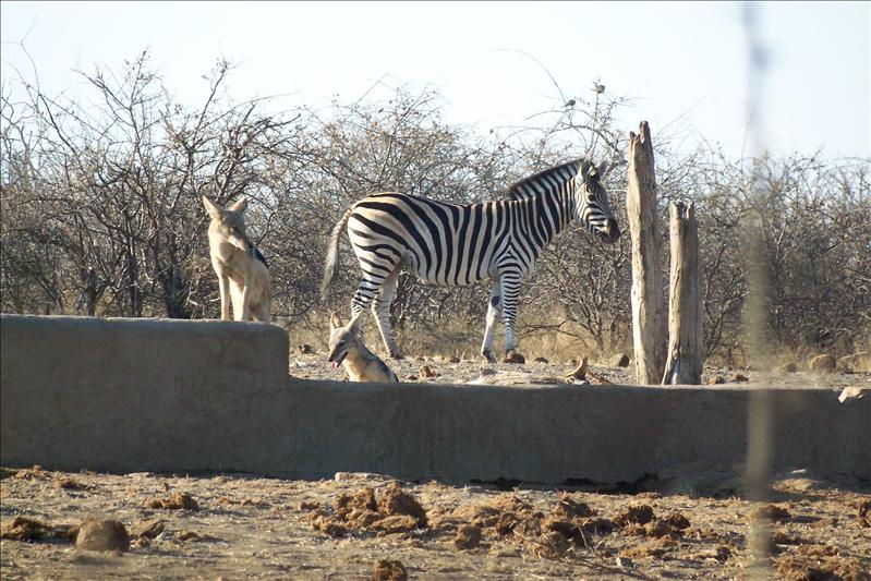 Jackal & Zebra