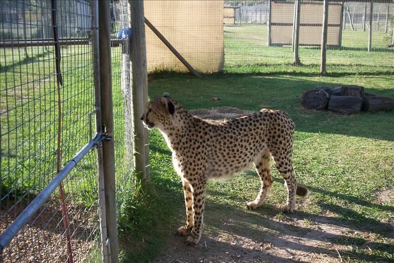 Joseph, male Cheetah / Joseph, Guépard mâle