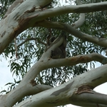 Vores første koala i den frie natur