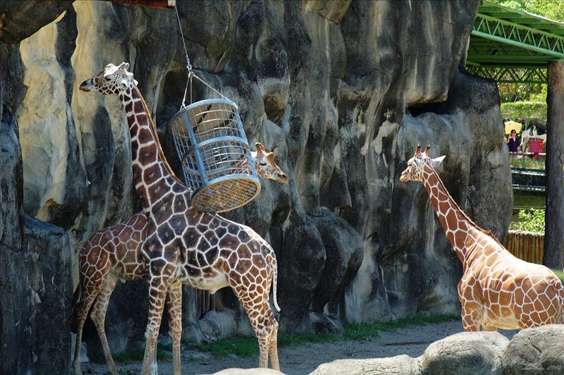 長頸鹿 Giraffe