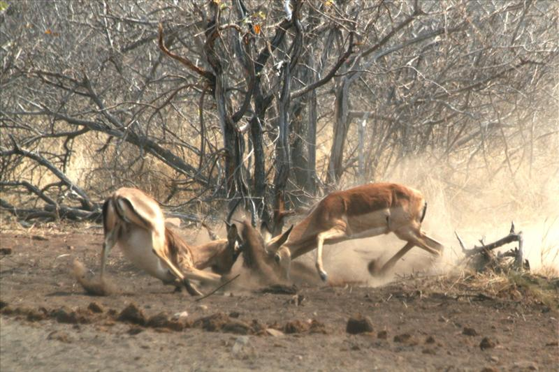 Impala fighting / Combat d'impala