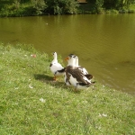 Ducks at beautiful, calm place