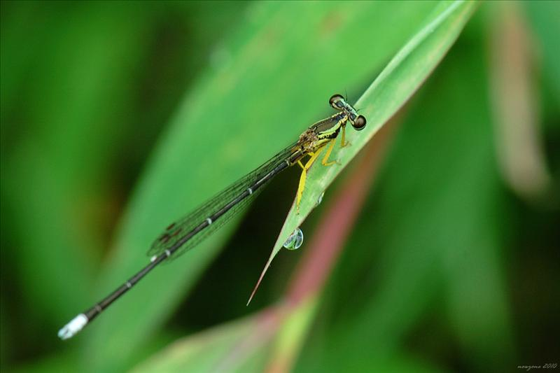 黃狹扇蟌Yellow Featherlegs [Copera marginipes (Rambur, 1842)]
