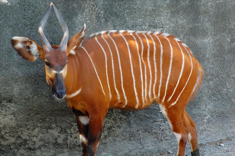 斑哥羚羊 Bongo
