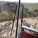 traversée de ...moutons
