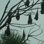 Random bats hanging out in Sri Lanka