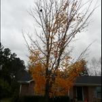 過了半個月,樹葉掉一半嚕!