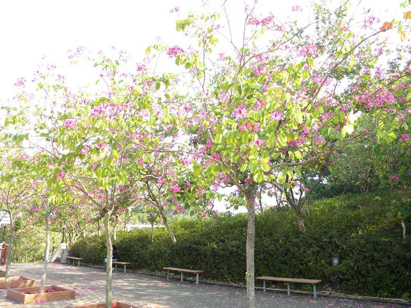 觀景台上美麗的洋紫荊