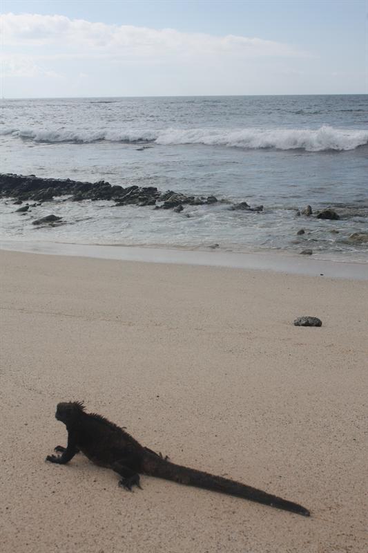 Marine Iguana still making his way down the beach
