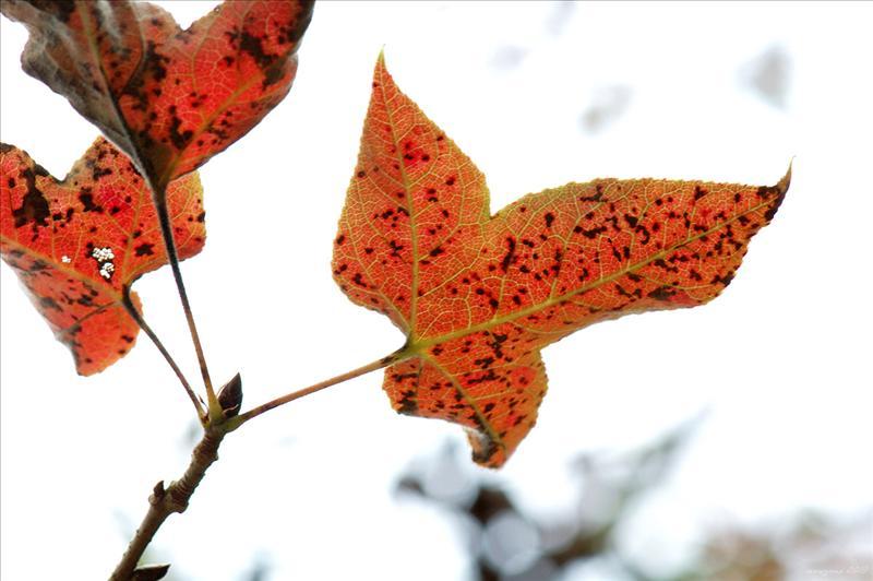 楓香 Liquidambar formosana