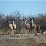 Female Kudus / Femelles Koudous