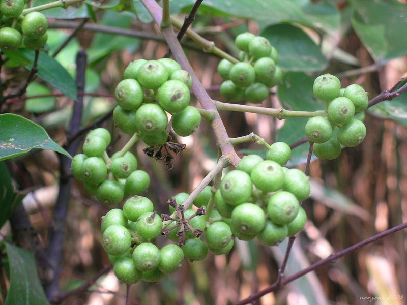 Schefflera octophylla鴨腳木