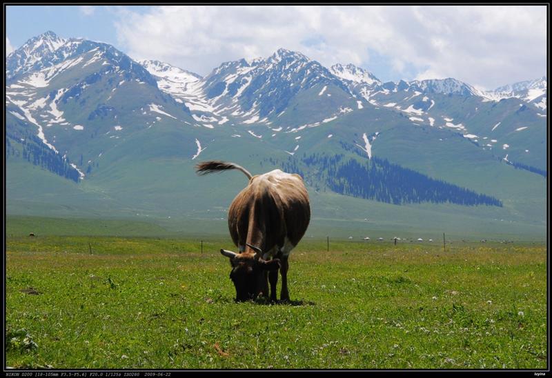 孤独的牛……