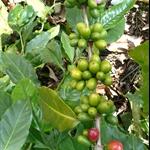 咖啡豆 (2).JPG