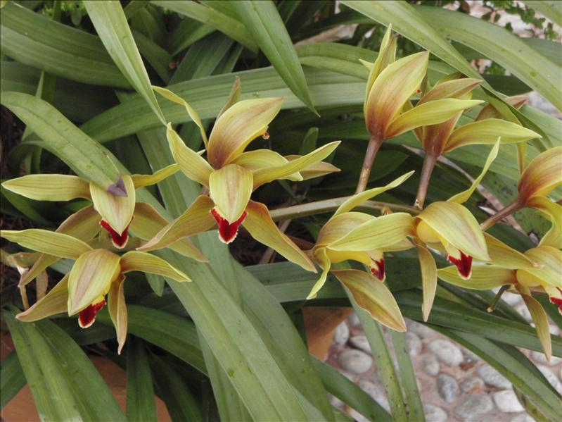Orchids, lijiang