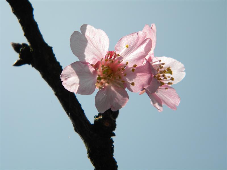 陽明山公園櫻花