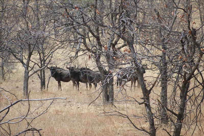 Wildebeest / Gnou