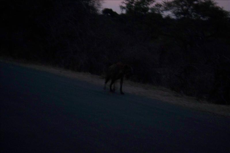 This spot is a spotted Hyena / cette tache est une Hyène tachetée
